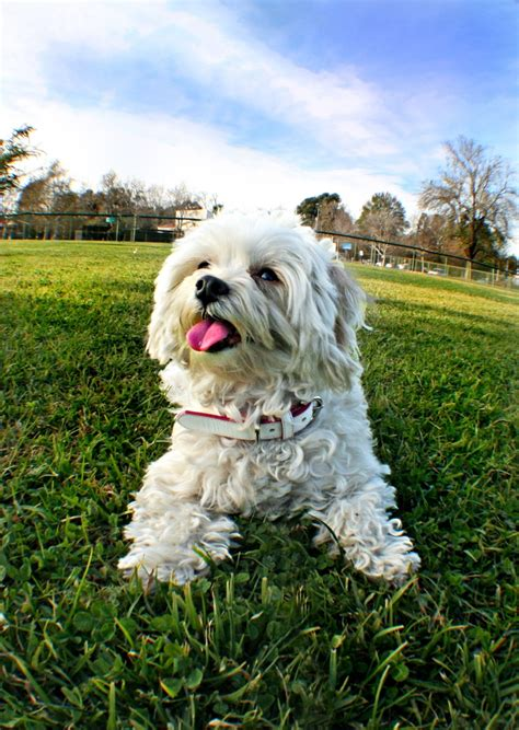 oodles dogs 1000 images about oodle moodle maltipoo on maltipoo and