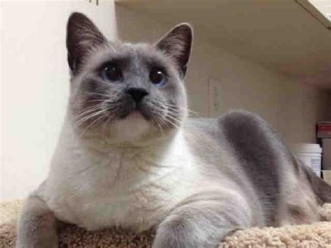 adopt a puppy san diego adopt a cat siamese cats san diego