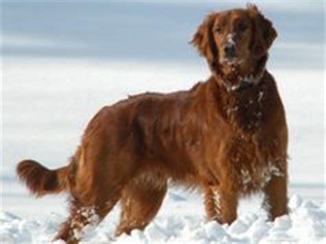 golden retriever setter hybrid puppies for sale 1000 images about golden golden retrievers on setter