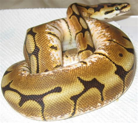 repository pattern python file spider morph ball python png wikimedia commons