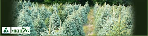 christmas tree farms in southeast michigan wholesale trees getty tree farms in northern michigan
