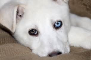 husky eye color different color free stock photo domain pictures