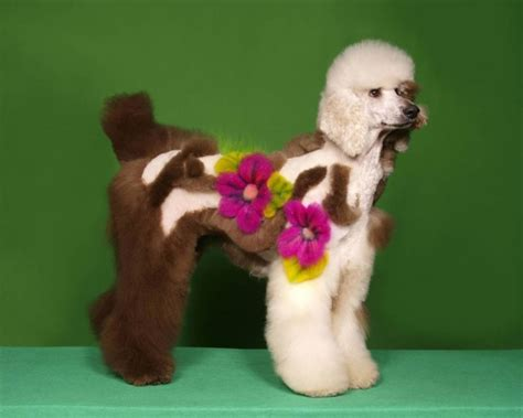 poodle hairstyles pictures crazy poodle haircuts funny dogs image funny dogs
