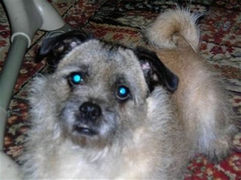 pug and cairn terrier mix cairn terrier pug mix pictures breeds picture