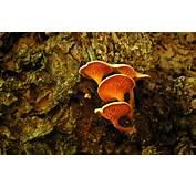 Orange Mushrooms Wallpapers  Stock Photos