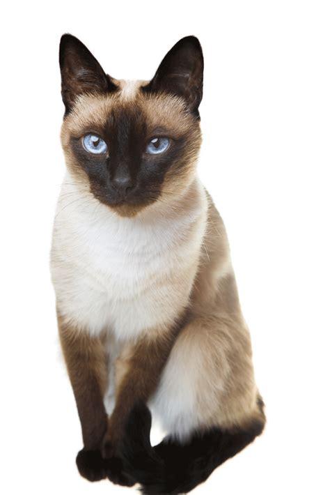 cat breeders siamese breeders australia siamese info kittens