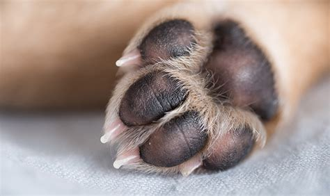 how to stop from paws how to prevent injuries to your s paw pads