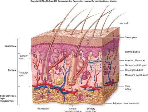 a protein that thickens and waterproofs the skin is regions integumentary system dd