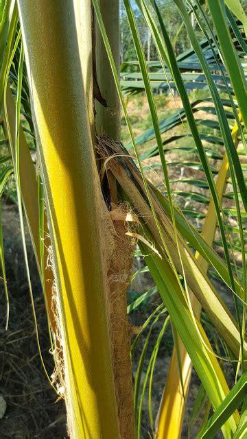 Furadan Durian warisan pesagi