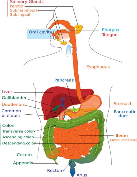 diagram of the digestive system digestive system diagram page anatomy digestive