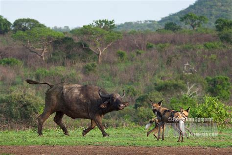 African Wild Dog and Buffalo interaction | Wildlife Stock ...