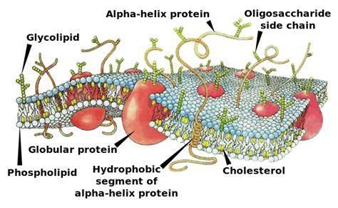 biochemistrymembranes  lipids wikibooks open books