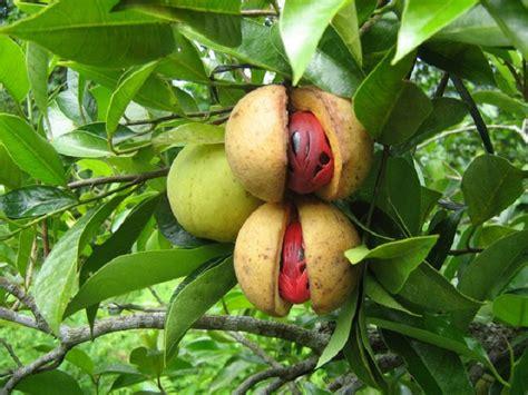 Bibit Pohon Zaitun Di Malang gambar buah pala terbelah dan matang di pohonnya