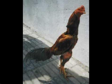 fotos de gallos de redonda gallos de pelea youtube