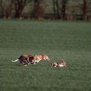 bbc news | uk | in pictures: hare coursing