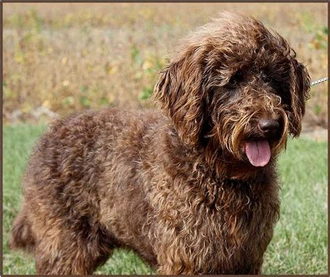 pictures of female labradoodles haircuts labradoodle haircut styles chocolate labradoodle