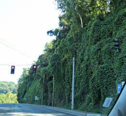 this fast growing vine will cover anything everything