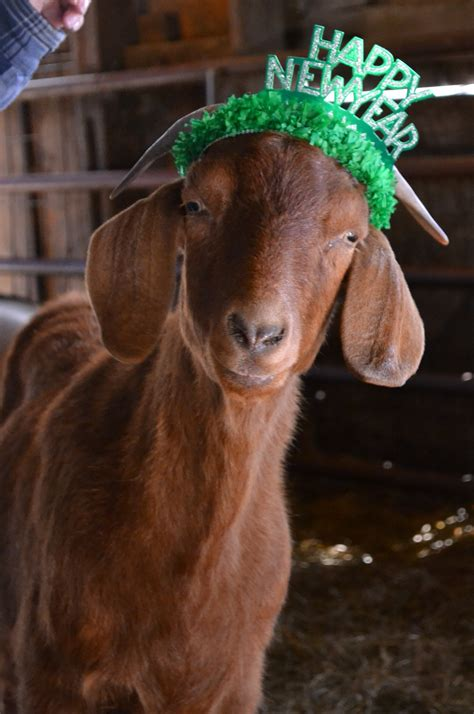 new year animals goat hats