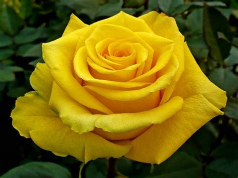 immagine fiore rosa rosa gialla caratteristiche della rosa gialla