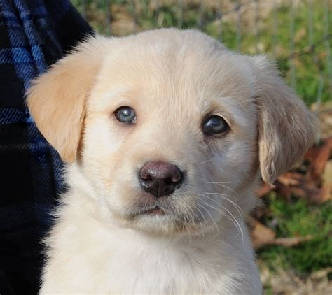 golden retriever labrador mix puppies golden retriever lab mix puppies www imgkid the image kid has it