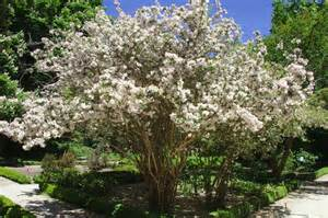 Drought Tolerant Flowering Shrubs - kolkwitzia amabilis