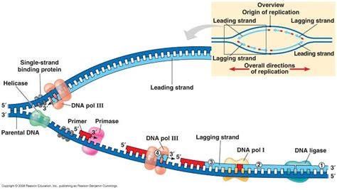 6 proteins involved in dna replication dna replication huetter s bio 205 study guide