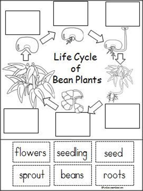 cycle of plants and animals worksheets cycle of a bean plant free printable part of a larger unit