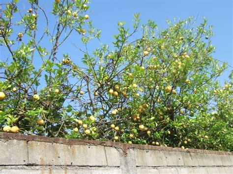 tree dropping fruit 1 from porto to vilarinho camino de santiago