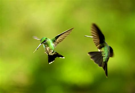 hummingbird mating and behavior