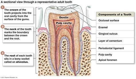 tooth diagram structure of teeth with diagram dental