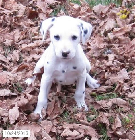 dalmatian puppies for sale houston dalmatian puppy for sale zooooo