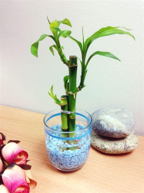 bambu in vaso 1 pentola di lucky bamboo in vaso di vetro colorato casa