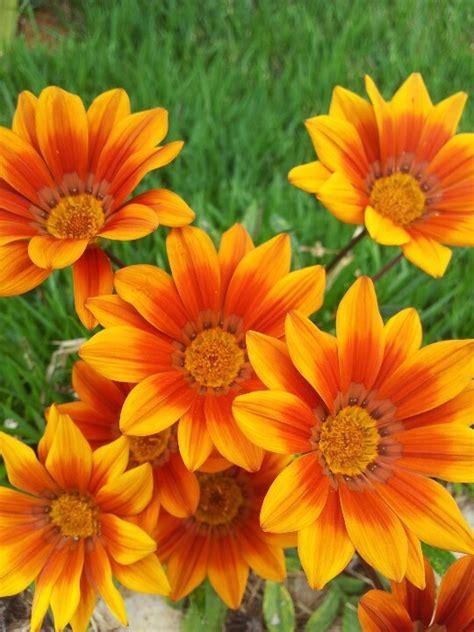 imagenes de flores silvestres chilenas 1000 images about flores chilenas silvestres on pinterest
