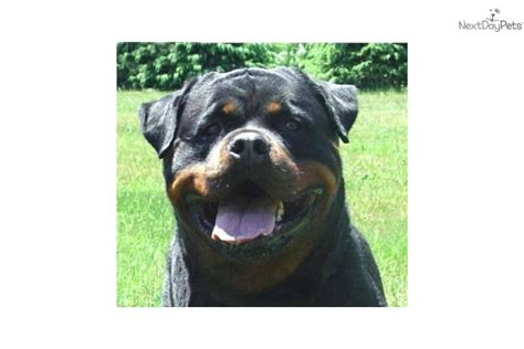 rottweiler puppies syracuse ny rottweiler puppy for sale near syracuse new york ca081904 5131