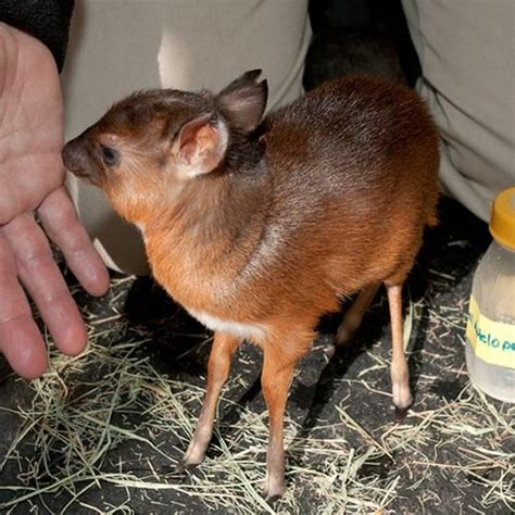 smallest grown in the world 24 of the smallest and cutest animals in the world