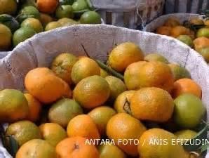 Jeruk Baby Malangjeruk Peras jeruk baby tahan hama tapi tetap harus dirawat dengan baik 2 jual alat pemeras jeruk