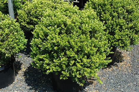 green beauty boxwood globe form buxus green beauty