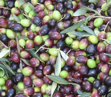 olive da tavola olive peranzana produzione olio dop olio cristofaro