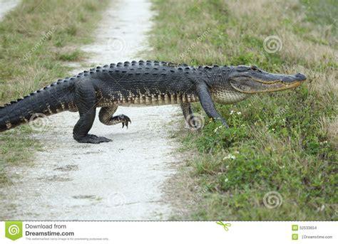 imagenes de animales orando alligator crossing a dirt road stock photo image 52533654