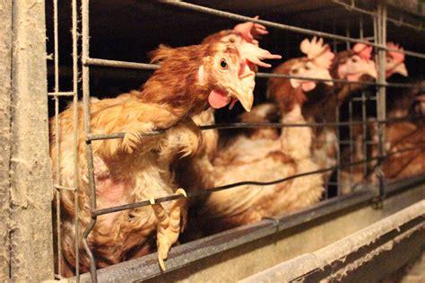 galline allevate in gabbia aviaria 850mila galline abbattute a codigoro e bruciate a