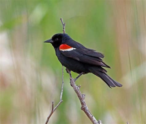 tricolored blackbird partners in flight