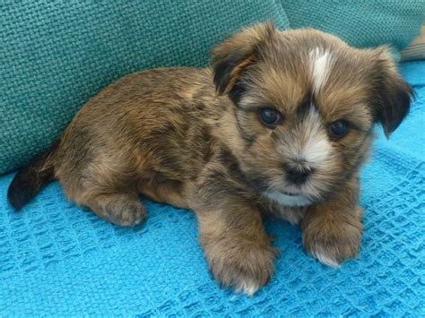 shorkie puppies for sale shorkie puppy for sale boy mold clwyd pets4homes