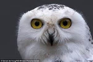 snowy owls seen in new york city as siberian express grips