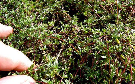 zitronenthymian kriechend pflanze thymus herba barona