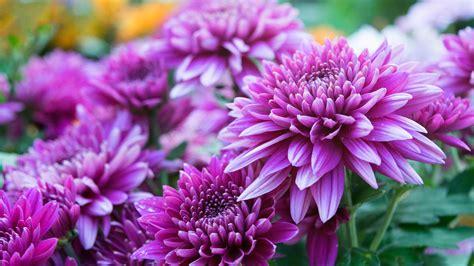 Chrysanthemen Vermehren by Chrysanthemen 252 Berwintern Und Vermehren