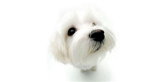 dog wallpapers free desktop wallpaper box dog wallpapers free download