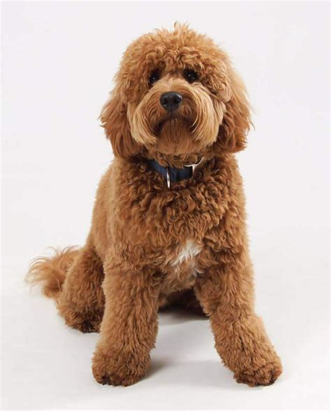 goldendoodle breeders indiana puppies for sale goldendoodle miniature goldendoodles
