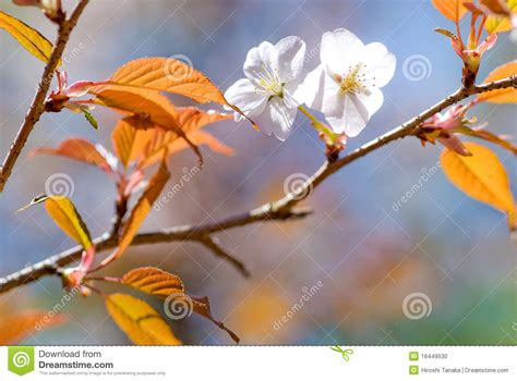 Blossom Shieneng cherry blossoms stock photo image 16449530