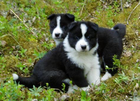 karelian puppy karelian puppies photo and wallpaper beautiful karelian puppies pictures