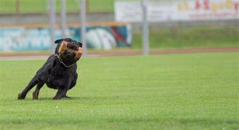 rottweiler working best rottweiler working lines photo